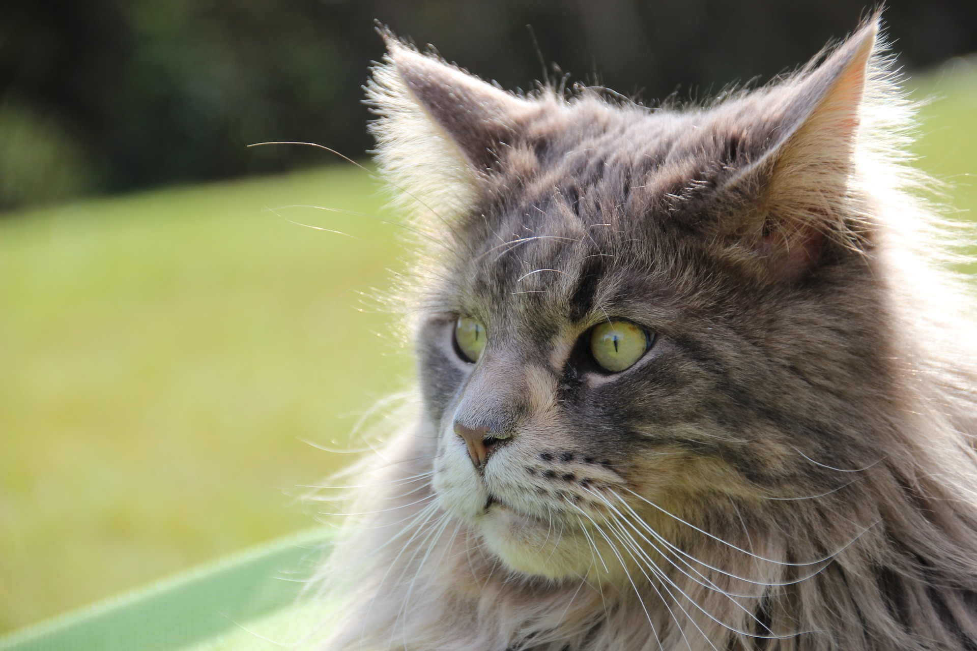 Maine Coon yeux verts
